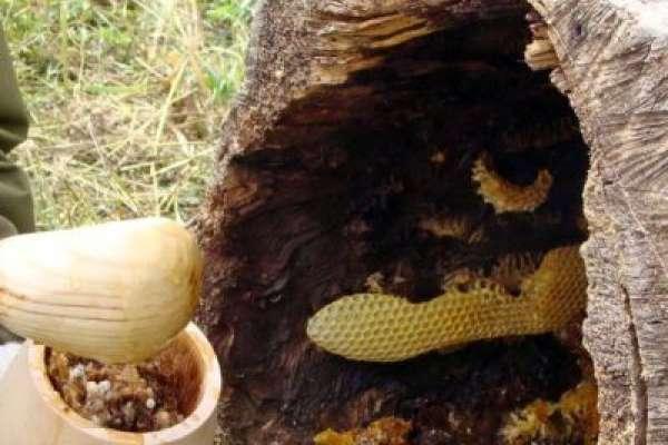 Бортевой мед диких пчел - полезные свойства и противопоказания