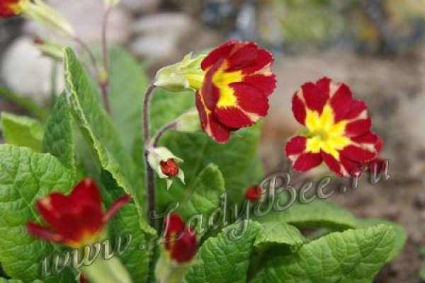 Первоцвет весенний или примула (Primula veris)