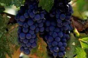 Вино: какой виноград? какие сорта? какой вкус?! Сорта винограда, красное и белое вино, марочные вина — Каталог статей — Салон.Су
