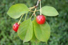 Листья вишни – полезные свойства и противопоказания; польза и вред