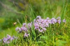 Чабрец — Трава лекарей и шаманов