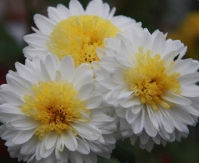 Красивые цветы в сад