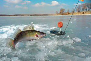 Ловля судака зимой на жерлицы: тактика ловли и секреты успеха — Рыбачок!