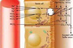 Буферная система: классификация, пример и механизм действия