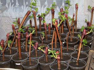 Черенкование винограда: что это такое?