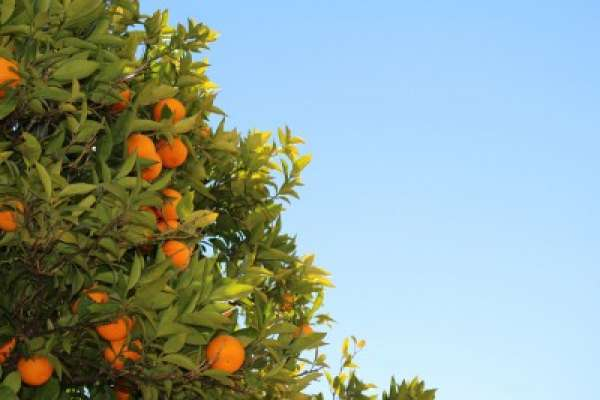 Какие бывают мандарины: виды и сорта