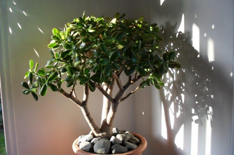 Как выращивать в домашних условиях алоэ, сансевьеру и денежное дерево
